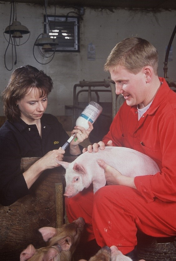 Veterinarian gives a vaccine on a small scale pig production in Ontario