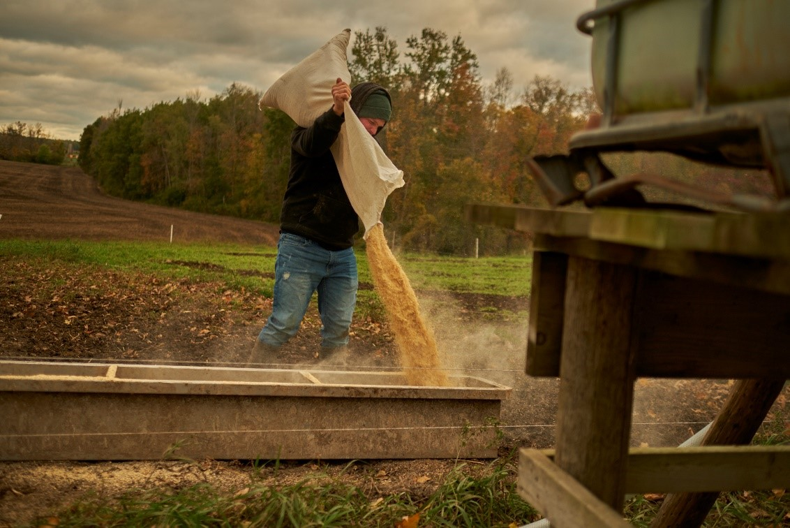 Small scale pig producer in Ontario pouring feed